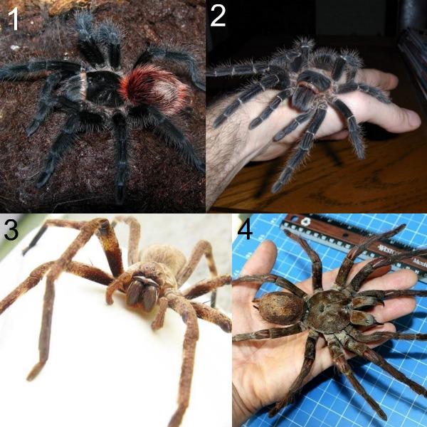 Фото самых больших пауков