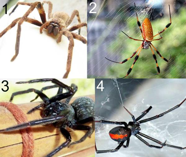 Крупные пауки Австралии фото