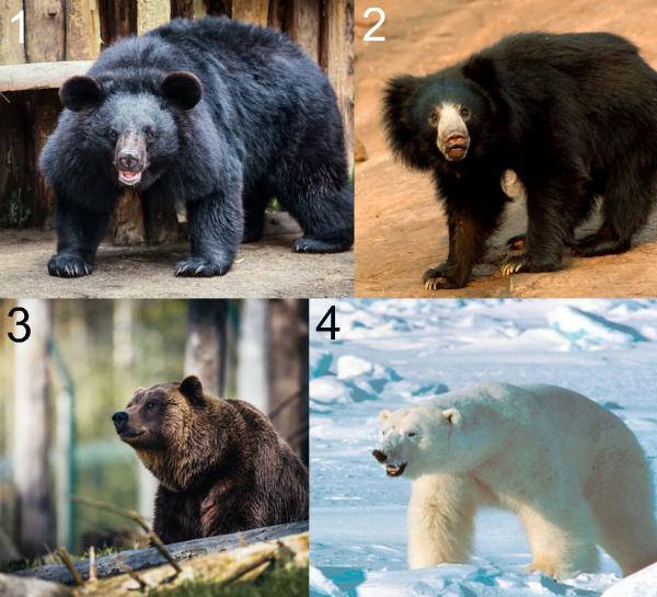 Какой медведь самый опасный