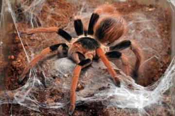 Самый большой паук фото