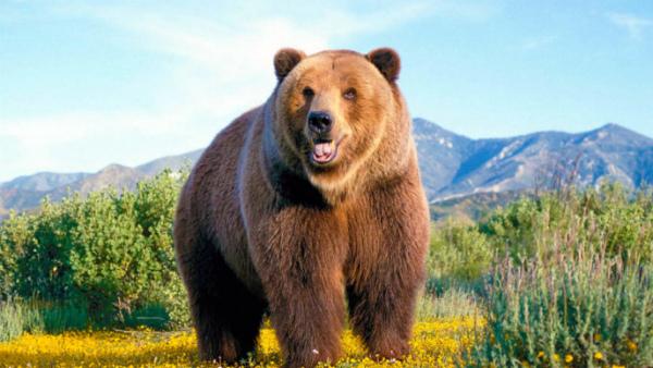 Самый большой медведь фото