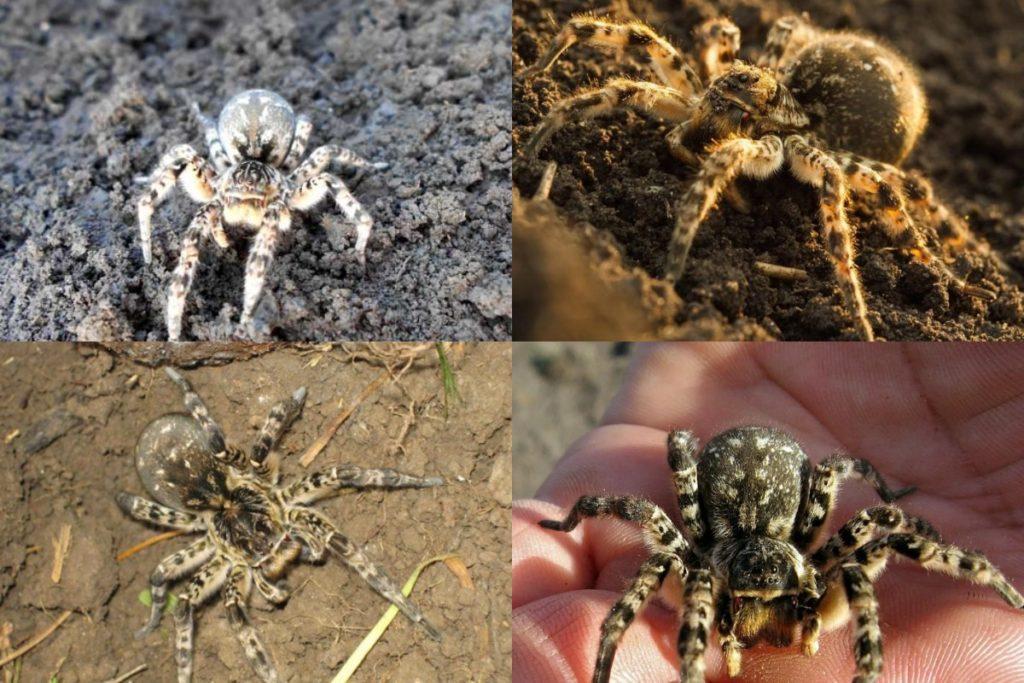 Южнорусский тарантул фото